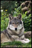 European Wolf 02 by Alannah-Hawker