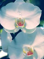 White Orchids Ver.2 by Himmelmeere