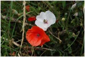 Comme un petit coquelicot by lipickwick