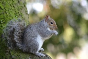 Grey Squirrel.. by KerrieLBrown