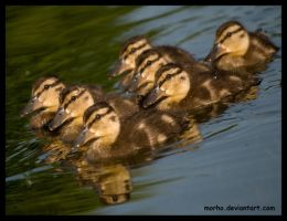 ducklings phalanx formation by morho