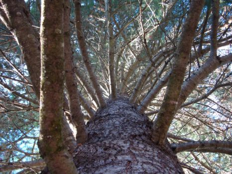 Inside view of a pine tree_2 by Freemag