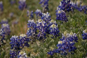 Texas Blue Bonnets 2 of 3 by AquaVixie