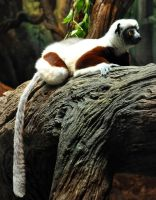 Sifaka by sugoidave