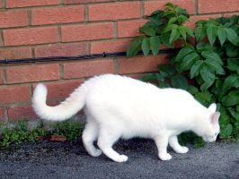 white cat stock 1 by DemoncherryStock