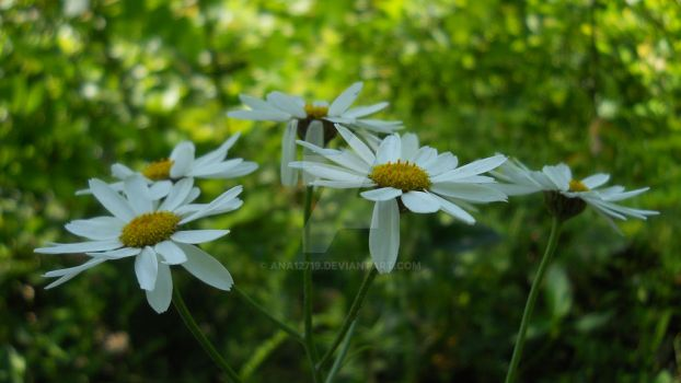 Daisies by Ana12719