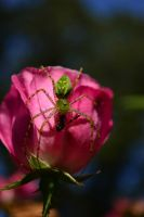the Lynx Spider Wins by AmbitiousArtisan