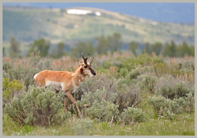 Pronghorn by Pinedrop