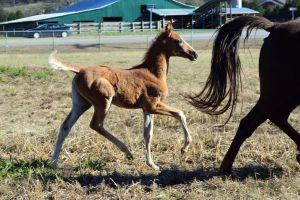 Gaited foal by CaballineCreations