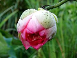 Hanging Lotus (2) by Michies-Photographyy