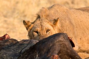 Botswana 2015 - Feeling like the next prey by Seb-Photos