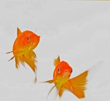 goldfish by Wookie92