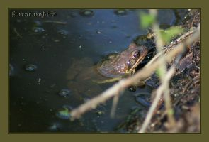 Common brown Frog by saracaindica