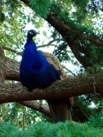 Peacock in a Tree by samelthecamel