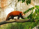 National Zoo Trip: Red Panda by painted-wolfs-den