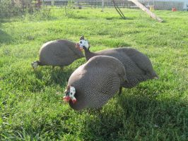 Guinea fowl: stock by Lythre-does-photos