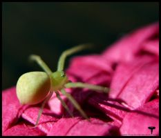 A little cute spider by Firrea