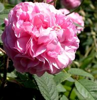 another pink flower by roger1440