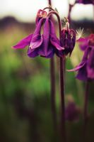 Purple columbine 3 by LucieG-Stock
