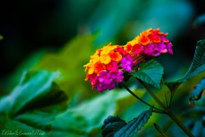 Dreaming Lantana by BlueLunarRose