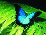 Ulysses butterfly by TheObscureLife