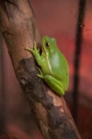 Tree Frog II by LDFranklin