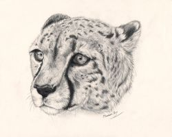 Cheetah Head by Hasanti