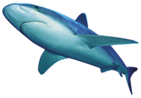 Shark PNG by LG-Design