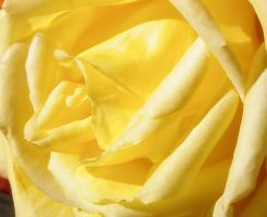 Yellow Rose 2 by Singing-Wolf-12