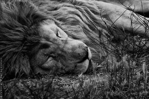 Lion by Elena-Elendim
