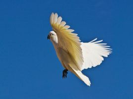 Sulphur Crested Cockatoo 182 by chezem