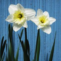 Daffy Twins by Geak-of-Nature