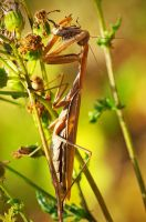 Mantis_jm3164 by joergens-mi