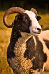 Farthing Downs Goat by andy1349