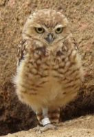 Small Owl 3 by JanuaryGuest