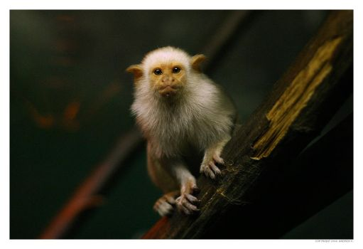 Silvery Marmoset by theshadow330
