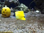 Halloween '14: Yellow Longnose Butterflyfish by Soll-DenneGallery