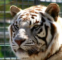 white faced tiger by TlCphotography730