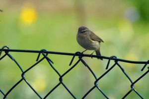 Chiffchaff by OliverBPhotography