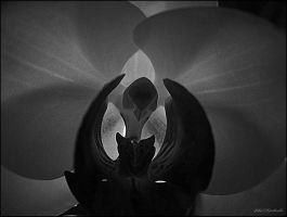 Orchid....3..w.b.... by gintautegitte69