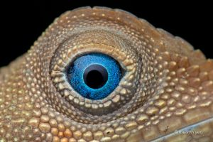 Earless Agamid Lizard (Aphaniotis fusca) by melvynyeo