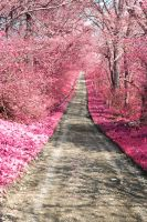 Pink Path by SharpePhocus