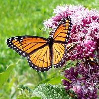 Monarch Butterfly 3 by Penny-Stock