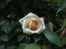 White Rose by Orcanaria