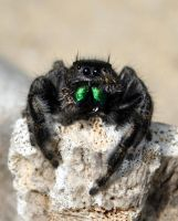 jumping spider 2 by MailleQueen