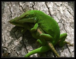 Green Anoles 40D0004323 by Cristian-M