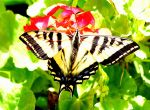 Swallowtail by jerryfrencho