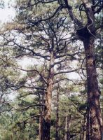 pinetree from baguio by taikun21