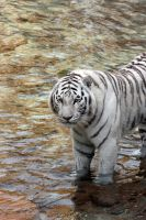 Tiger Stock 5 by GloomWriter