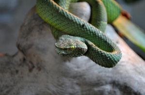 Green Tree Viper2 by soulstrifer